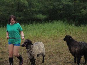Dryden Teen Achieves Success Showing Sheep